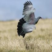 Chatham Island pigeon. Adult in flight showing iridescent feathers. Tuku Farm, Chatham Island, February 2010. Image © David Boyle by David Boyle Courtesy of the Chatham Island Taiko Trusthttp://www.taiko.org.nz
