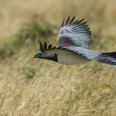 Chatham Island pigeon. Side view of adult in flight. Tuku Farm, Chatham Island, February 2010. Image © David Boyle by David Boyle Courtesy of the Chatham Island Taiko Trusthttp://www.taiko.org.nz