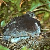 Chatham Island pigeon. Fully grown chick in nest. Tuku Valley, Chatham Island, January 1993. Image © Ralph Powlesland by Ralph Powlesland