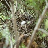 Chatham Island pigeon. Nest with egg. Tuku Valley, Chatham Island. Image © Ralph Powlesland by Ralph Powlesland