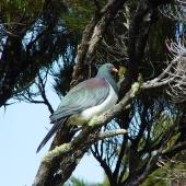Chatham Island pigeon. Adult perched in tree. Chatham Island near Taiko camp, October 2007. Image © Graeme Taylor by Graeme Taylor