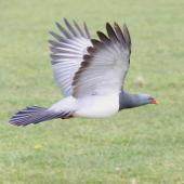 Chatham Island pigeon. Adult in flight showing underwing. Taiko Camp, Chatham Island, October 2011. Image © Mark Fraser by Mark Fraser