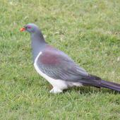 Chatham Island pigeon. Adult showing iridescent wing feathers. Taiko Camp, Chatham Island, October 2011. Image © Mark Fraser by Mark Fraser
