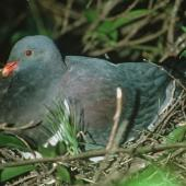 Chatham Island pigeon. Adult on nest. Chatham Island. Image © Department of Conservation (image ref: 10023527) by Ralph Powlesland, Department of Conservation Courtesy of Department of Conservation