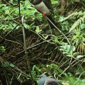 Chatham Island pigeon. Adult (top) and juvenile on supplejack liane. Chatham Island. Image © Department of Conservation (image ref: 10034077) by Ian Flux, Department of Conservation Courtesy of Department of Conservation