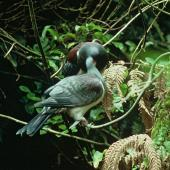 Chatham Island pigeon. Adult feeding juvenile. Chatham Island. Image © Department of Conservation (image ref: 10031543) by Ian Flux, Department of Conservation Courtesy of Department of Conservation
