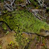Kakapo. Adult. Codfish Island, December 2011. Image © Colin Miskelly by Colin Miskelly
