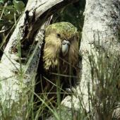 Kakapo. Adult 'Jimmy'. Stewart Island, December 1983. Image © Alan Tennyson by Alan Tennyson Alan Tennyson