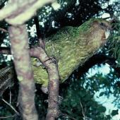 Kakapo. Adult 'Lionel' in tree. Stewart Island, December 1983. Image © Alan Tennyson by Alan Tennyson