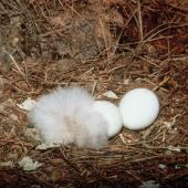 Kakapo. Nest containing 2 eggs and a 1-day-old chick. Maud Island, March 1998. Image © Department of Conservation (image ref: 10039102) by Don Merton, Department of Conservation Courtesy of Department of Conservation