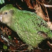 Kakapo. Juvenile 'Manu' (75 days old). Whenua Hou / Codfish Island, June 1997. Image © Department of Conservation (image ref: 10036011) by Don Merton, Department of Conservation Courtesy of Department of Conservation