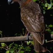 Kaka. Adult. Karori Sanctuary / Zealandia, April 2018. Image © Paul Le Roy by Paul Le Roy