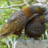 Kaka. North Island kaka one year old sub-adult siblings allopreening (male on left). Te Aro, Wellington, October 2011. Image © Judi Lapsley Miller by Judi Lapsley Miller judi@psychokiwi.org