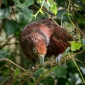 Kaka. Adult female North Island kākā - kākā kura (red colour morph). Karori Sanctuary / Zealandia, February 2017. Image © Judi Lapsley Miller by Judi Lapsley Miller http://www.artbyjlm.com
