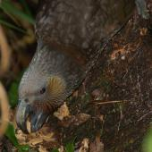 Kaka. North Island kaka adult showing fleshy tongue. Maungatautari south, October 2010. Image © Suzi Phillips by Suzi Phillips