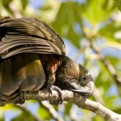 Kaka. Adult North Island kaka cleaning its beak. Little Barrier Island, March 2009. Image © Art Polkanov by Art Polkanov