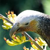 Kaka. Female South Island kaka feeding on flax nectar. Half Moon Bay, Stewart Island, February 2012. Image © Peter Tait by Peter Tait Courtesy Peter Tait http://www.sailsashore.co.nz, tait@sailsashore.co.nz