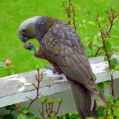 Kaka. South Island kaka holding food in foot. Stewart Island, November 2006. Image © James Mortimer by James Mortimer