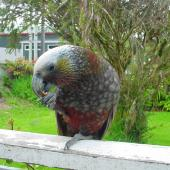 Kaka. South Island kaka with food in foot. Stewart Island, November 2006. Image © James Mortimer by James Mortimer