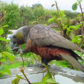 Kaka. South Island kaka. Stewart Island, November 2006. Image © James Mortimer by James Mortimer
