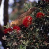 Kaka. Adult North Island kaka feeding on pohutukawa flowers. Little Barrier Island. Image © Terry Greene by Terry Greene