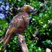Kaka. Adult North Island kaka. Kapiti Island, February 1998. Image © Albert Aanensen by Albert Aanensen
