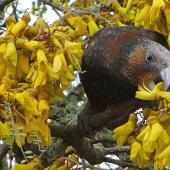 Kaka. North Island kaka feeding on kowhai. Kelburn, Wellington, August 2013. Image © David Brooks by David Brooks