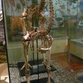 South Island giant moa. Mounted male skeleton in Otago Museum. Hamilton Swamp, Otago. Image © Alan Tennyson & Otago Museum by Alan Tennyson