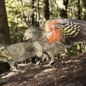 Kea. Two juveniles. Routeburn Flats, Mt Aspiring National Park, March 2016. Image © Ron Enzler by Ron Enzler http://www.therouteburntrack.com