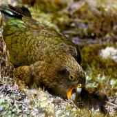 Kea. Juvenile feeding on Celmisia incana. Nelson Lakes National Park, December 1984. Image © Albert Aanensen by Albert Aanensen