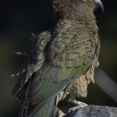 Kea. Juvenile female. Arthur's Pass, August 2012. Image © Corey Mosen by Corey Mosen www.coreymosen.co.nz