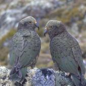 Kea. Juveniles. Nelson Lakes National Park, January 2009. Image © Corey Mosen by Corey Mosen www.coreymosen.co.nz