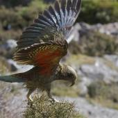 Kea. Juvenile with wings extended landing on coprosma. Arthur's Pass, March 2014. Image © Steve Attwood by Steve Attwood  http://www.flickr.com/photos/stevex2/