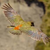Kea. Adult in flight above Hutton's shearwater colony. Upper Kowhai Stream Seaward Kaikoura Ranges, December 2011. Image © Mark Fraser by Mark Fraser