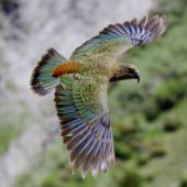 Kea. Dorsal view of adult in flight. Upper Kowhai Stream, Seaward Kaikoura Range, December 2011. Image © Mark Fraser by Mark Fraser