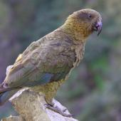 Kea. Adult at Hutton's shearwater colony. Upper Kowhai Stream, Seaward Kaikoura Range, December 2011. Image © Mark Fraser by Mark Fraser