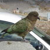Kea. Adult with feathers fluffed up. Arthur's Pass, September 2011. Image © James Mortimer by James Mortimer