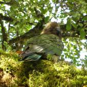 Kea. Adult showing camouflage effect in forest. Fiordland, October 2009. Image © James Mortimer by James Mortimer