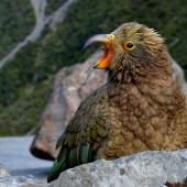 Kea. Juvenile with yellow eyelids & ceres. Deaths Corner Lookout, Arthur's Pass, May 2015. Image © Shellie Evans by Shellie Evans www.tikitouringnz.blogspot.co.nz