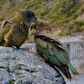 Kea. Juvenile (right) receiving reassurance from adult . Deaths Corner Lookout, Arthur's Pass, May 2015. Image © Shellie Evans by Shellie Evans www.tikitouringnz.blogspot.co.nz