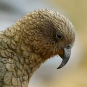 Kea. Close view of adult head in profile. Haast Pass, December 2005. Image © Craig McKenzie by Craig McKenzie Craig McKenzie