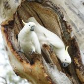 Sulphur-crested cockatoo. Adult pair inspecting a nesting hollow. Canberra, November 2015. Image © RM by RM