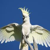 Sulphur-crested cockatoo. Adult breeding/territorial display. Canberra, Australia., November 2016. Image © RM by RM