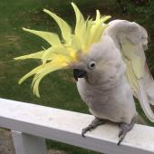 Sulphur-crested cockatoo. Captive adult displaying crest. Manukau Heads, March 2015. Image © Marie-Louise Myburgh by Marie-Louise Myburgh