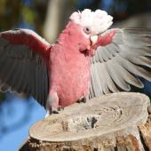 Galah. Male with erect crest and arched wings in courtship display to a female (out of shot) at the entrance to a nesting hollow. Canberra, Australia., July 2016. Image © RM by RM