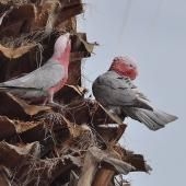 Galah. Pair preparing a nest high up in a palm tree, male on right. Quinns Rocks,  Western Australia, July 2015. Image © Marie-Louise Myburgh by Marie-Louise Myburgh
