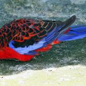 Crimson rosella. Adult in captivity. Virginia Lake, Whanganui, November 2008. Image © Duncan Watson by Duncan Watson