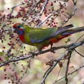 Crimson rosella. Immature bird feeding on hawthorn berries.. Melbourne, Victoria, Australia, May 2013. Image © Sonja Ross by Sonja Ross