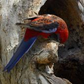 Crimson rosella. Bird at tree hollow. Melbourne, Victoria, Australia, October 2007. Image © Sonja Ross by Sonja Ross