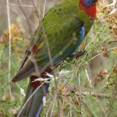 Crimson rosella. Juvenile. Canberra, Australia, February 2016. Image © R.M. by R.M.